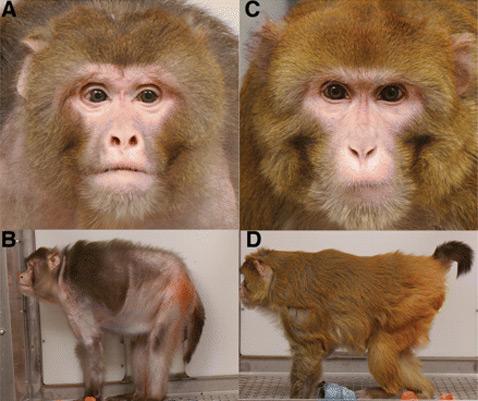 25-year study of rhesus monkeys | меньше калорий - дольше жизнь
