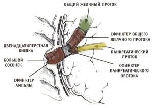 duodenum   двенадцатиперстная кишка   раздельное питание