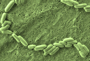 Bifidobacterium | микробиом | юл иванчей | микробиот | human microbiome