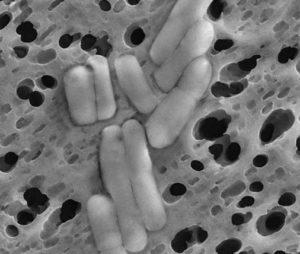 Lactobacillus reuteri | микробиом | юл иванчей | микробиот | human microbiome