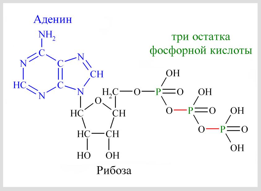АТФ | Жиры | Биохимия для чайников | Юл Иванчей